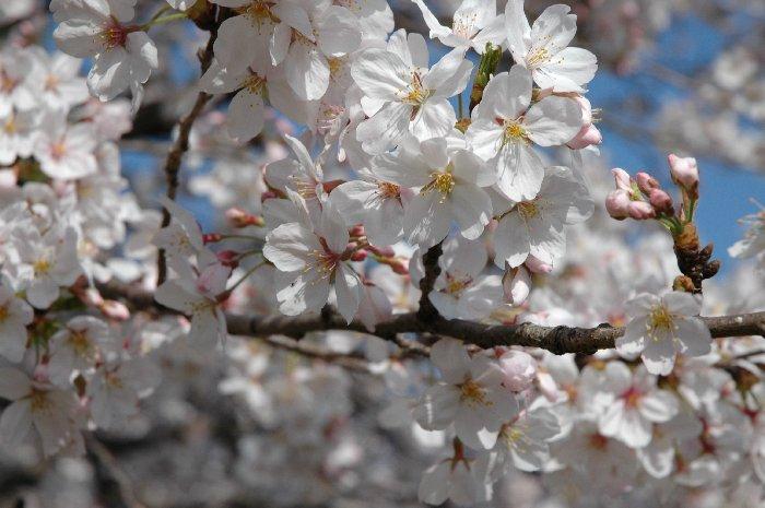 桜の下で 2_c0065512_13261665.jpg
