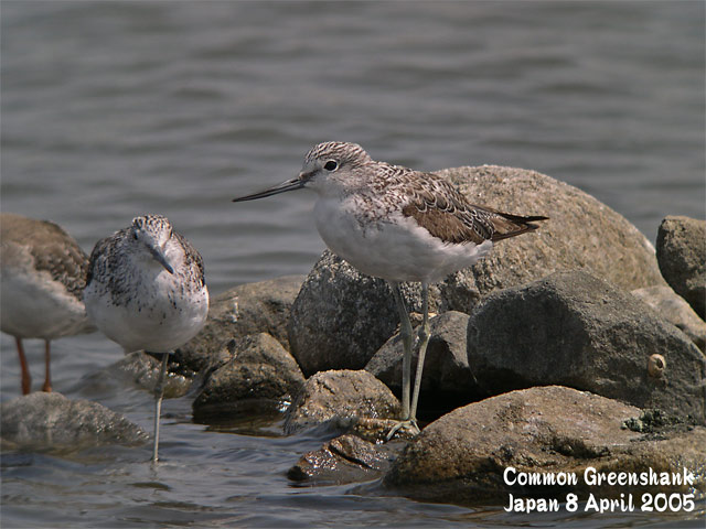 アオアシシギ 1   Common Greenshank 1_c0071489_07074.jpg