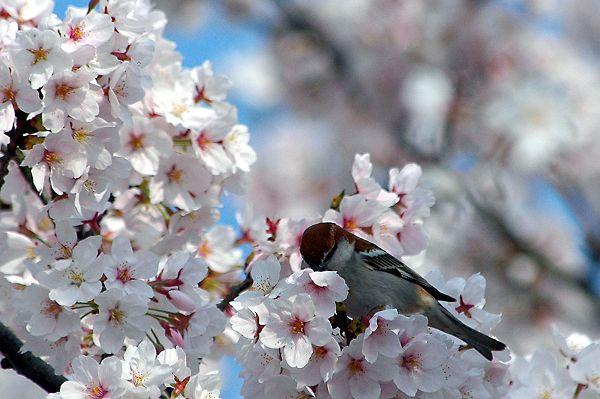 スズメの花見_b0021897_23264668.jpg
