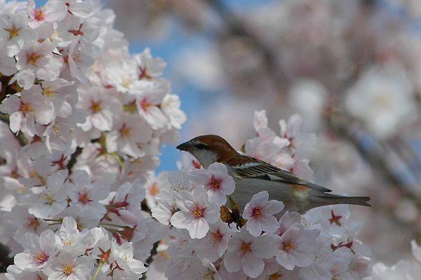 スズメの花見_b0021897_23284930.jpg