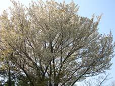 花の匂いのするキャベツが「生まれる」瞬間(4月10日)_c0014967_0492883.jpg