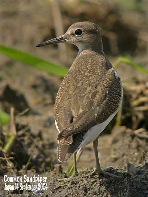 イソシギ          Common Sandpiper_c0071489_16531950.jpg