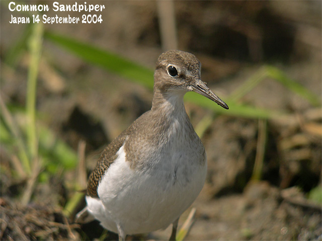 イソシギ          Common Sandpiper_c0071489_16533556.jpg