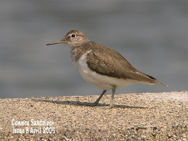 イソシギ          Common Sandpiper_c0071489_7334936.jpg