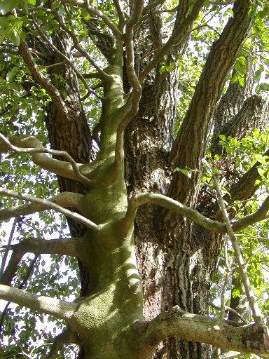 二本の樹_c0057390_17534090.jpg