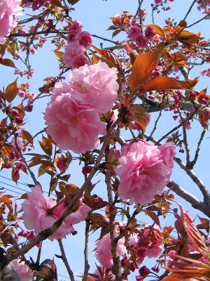 八重桜・・・匂ひぬるかな_c0001578_12514.jpg
