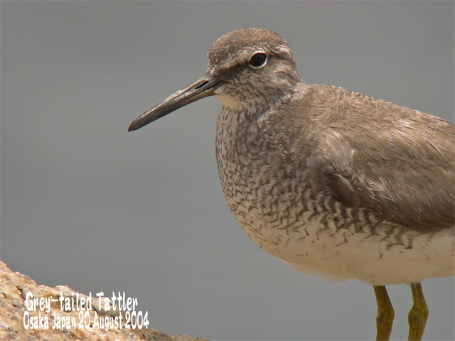キアシシギ 1      Grey-tailed Tattler 1_c0071489_7112336.jpg