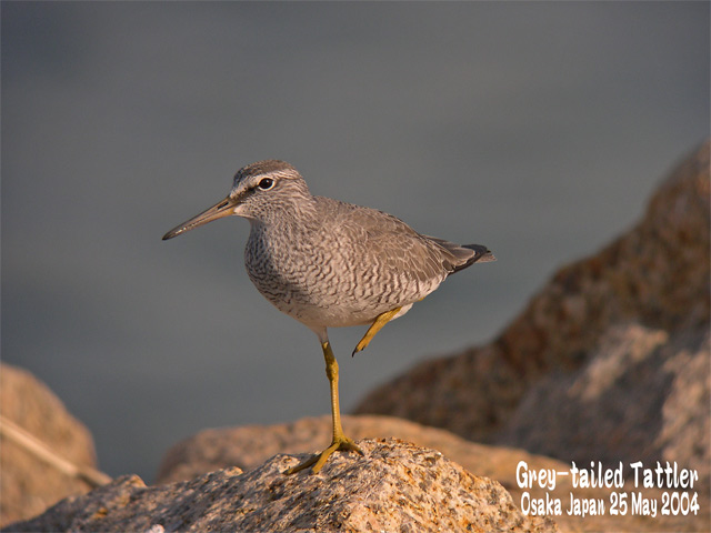 キアシシギ 1      Grey-tailed Tattler 1_c0071489_7131057.jpg