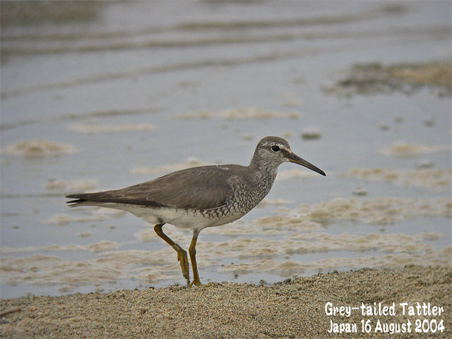 キアシシギ 1      Grey-tailed Tattler 1_c0071489_715724.jpg