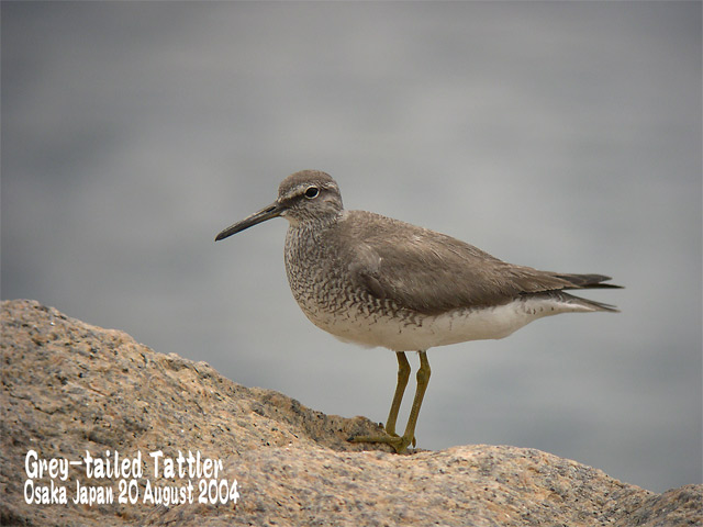 キアシシギ 1      Grey-tailed Tattler 1_c0071489_784369.jpg