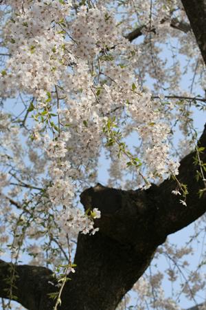 桜 咲きました。_a0018671_11173735.jpg