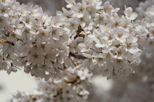 桜 咲きました。_a0018671_11201313.jpg