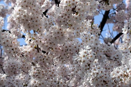 桜 咲きました。_a0018671_1243245.jpg