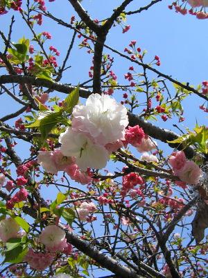 八重桜・・・匂ひぬるかな_c0001578_0595722.jpg