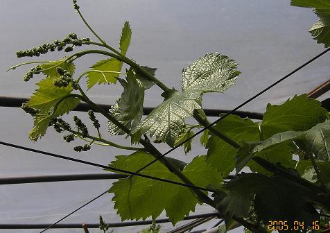 ぶどうの花穂がはっきり見えてます。_d0026905_2046321.jpg