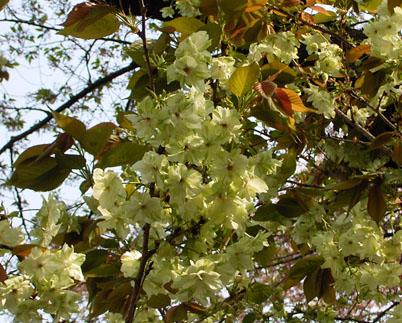 遅咲き      late blossomed_b0029036_14101594.jpg
