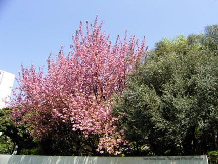遅咲き      late blossomed_b0029036_14104326.jpg
