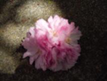 遅咲き      late blossomed_b0029036_14112525.jpg