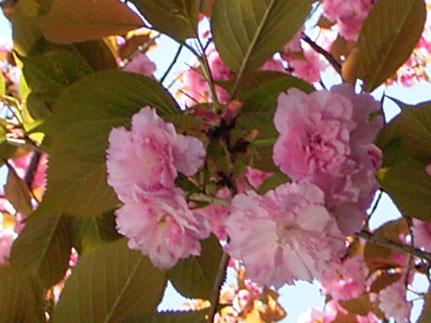 遅咲き      late blossomed_b0029036_1411470.jpg
