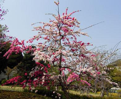 遅咲き      late blossomed_b0029036_14131662.jpg