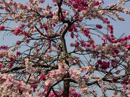 遅咲き      late blossomed_b0029036_14144144.jpg
