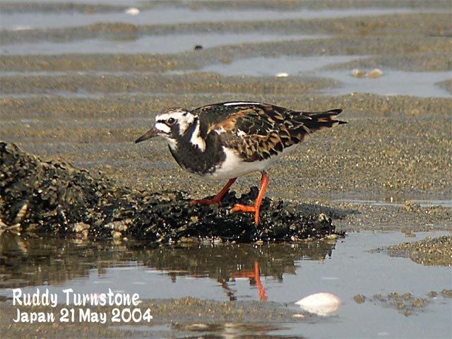 キョウジョシギ 1    Ruddy Turnstone 1_c0071489_21594251.jpg