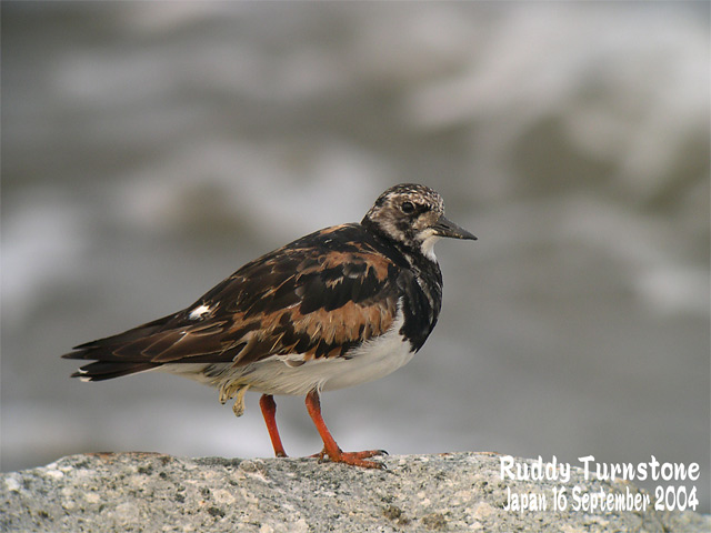 キョウジョシギ 1    Ruddy Turnstone 1_c0071489_22496.jpg