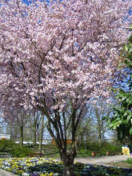 桜?_b0044706_718352.jpg