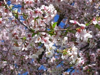 桜?_b0044706_719952.jpg