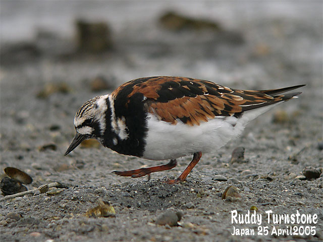 キョウジョシギ 1    Ruddy Turnstone 1_c0071489_1132061.jpg