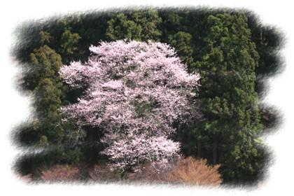 桜前線 更に北上中_d0012134_235732100.jpg