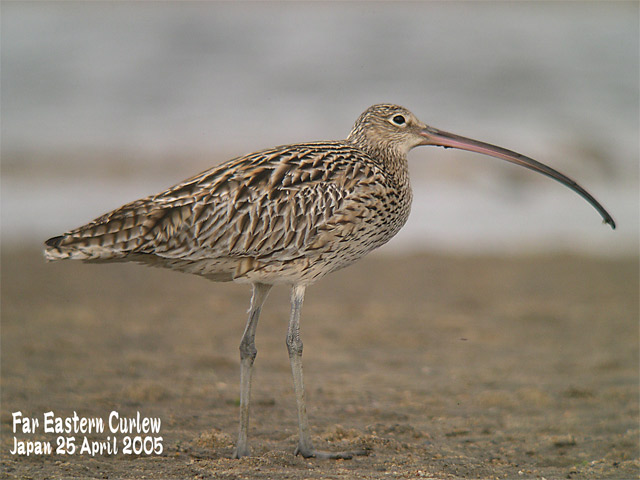 ホウロクシギ 3  Far Eastern Curlew 3_c0071489_22395510.jpg
