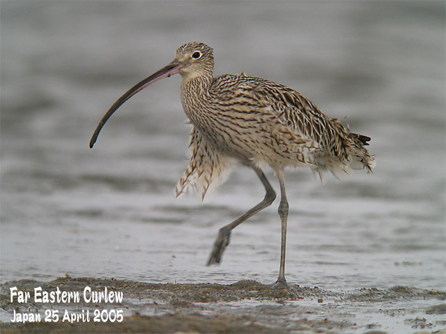 ホウロクシギ 3  Far Eastern Curlew 3_c0071489_22402864.jpg