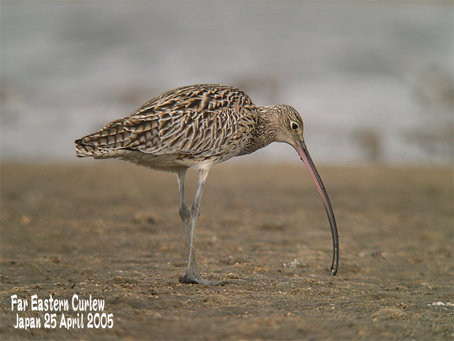 ホウロクシギ 3  Far Eastern Curlew 3_c0071489_2240466.jpg
