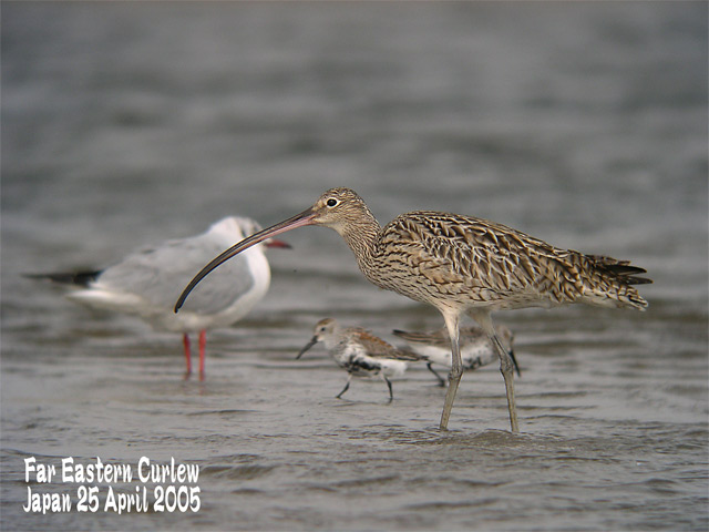 ホウロクシギ 3  Far Eastern Curlew 3_c0071489_22411183.jpg
