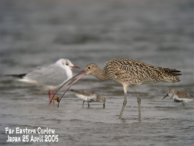 ホウロクシギ 3  Far Eastern Curlew 3_c0071489_235355.jpg