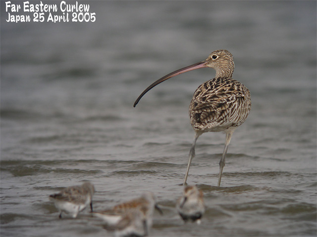 ホウロクシギ 3  Far Eastern Curlew 3_c0071489_23555895.jpg