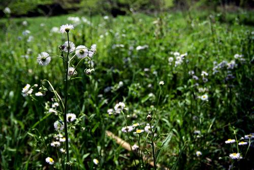 ハルジオンの草っ原。_b0022268_933436.jpg