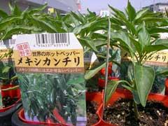 ホームセンターで野菜苗購入_b0054727_165342.jpg