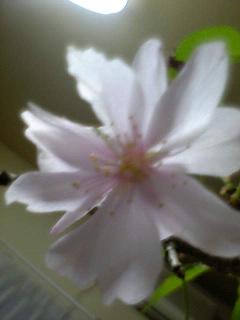 十月桜_a0028804_1446556.jpg