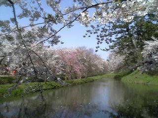 桜_a0028804_2042647.jpg