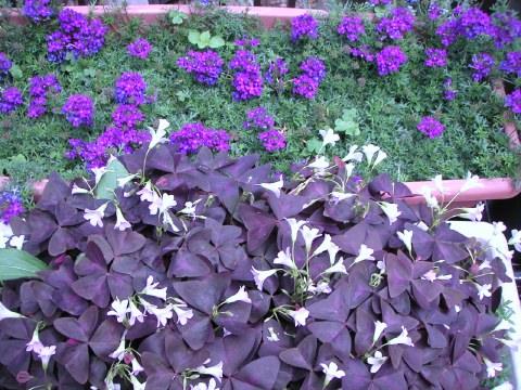 お庭のオキザリスとタピアンが咲き始めました_b0033423_16343975.jpg
