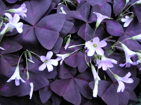 お庭のオキザリスとタピアンが咲き始めました_b0033423_16391310.jpg