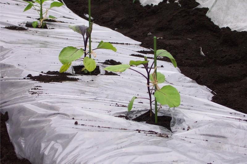 なすの苗を植えました_c0053863_14122981.jpg