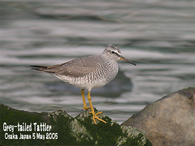 キアシシギ 1      Grey-tailed Tattler 1_c0071489_235526.jpg