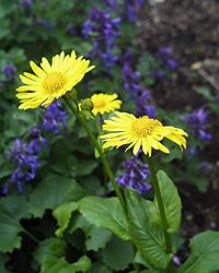 ドロニクム Doronicum caucasicum_d0016347_146612.jpg
