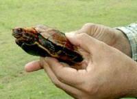 久米島町の県道でリュウキュウヤマガメを保護_b0052564_18512343.jpg