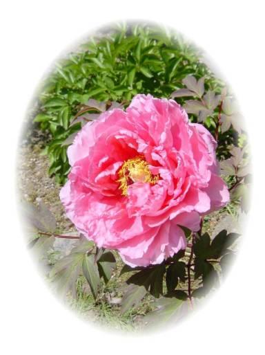 石楠花が美しい室生寺_d0013068_2254599.jpg