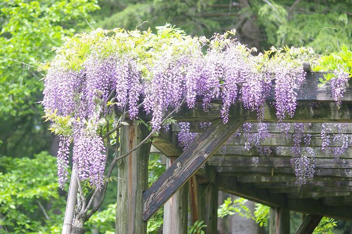 フジの花~鶴来樹木公園(1)_d0043136_2216920.jpg