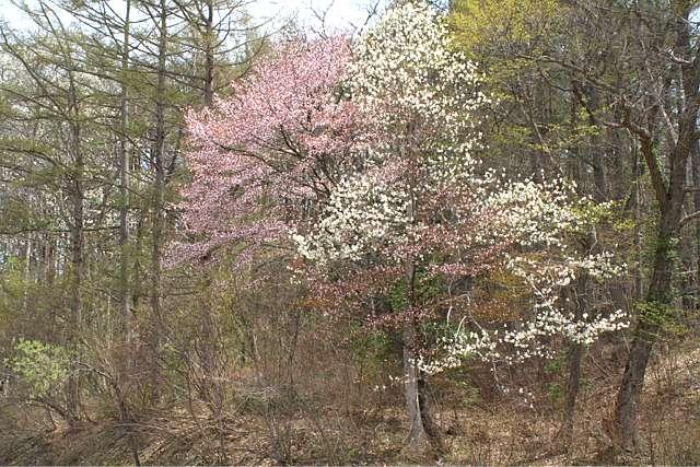 桜だより おまけ編 (^_^)v_d0012134_17542770.jpg